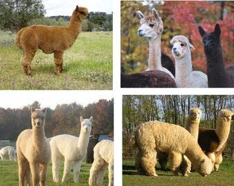 Lot Of 12 Alpacas Fabric Panel Quilt Square Blocks