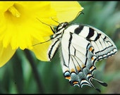 Butterfly on Daffodil Blank Photograph Card