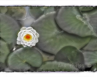 Lily pads. Fine Art Photography.