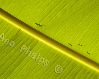 Ant family behind a banana leaf. Fine Art Photography.