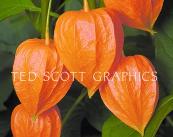 Macro-Photograph of a Chinese Lanterns Plant (physalis). Photography