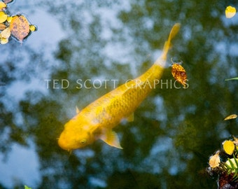 Carp (Japanese koi) Photography