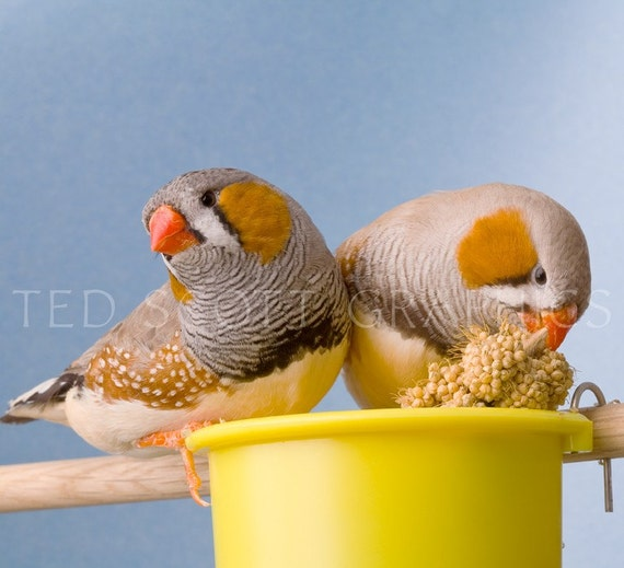 Two Male Zebra Finches (photography)