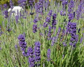 Lavender Buds by the Pound, Provance and Pierre Grosso-Includes Sachet