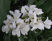 Butterfly Ginger-Wonderfully Fragrant-Hedychium coronarium-2 Rhizomes