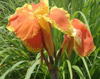 Canna Lily-Canna X generalis 'King Humbert' - Vibrant Orange/Yellow Flowers - 4 Rhizomes
