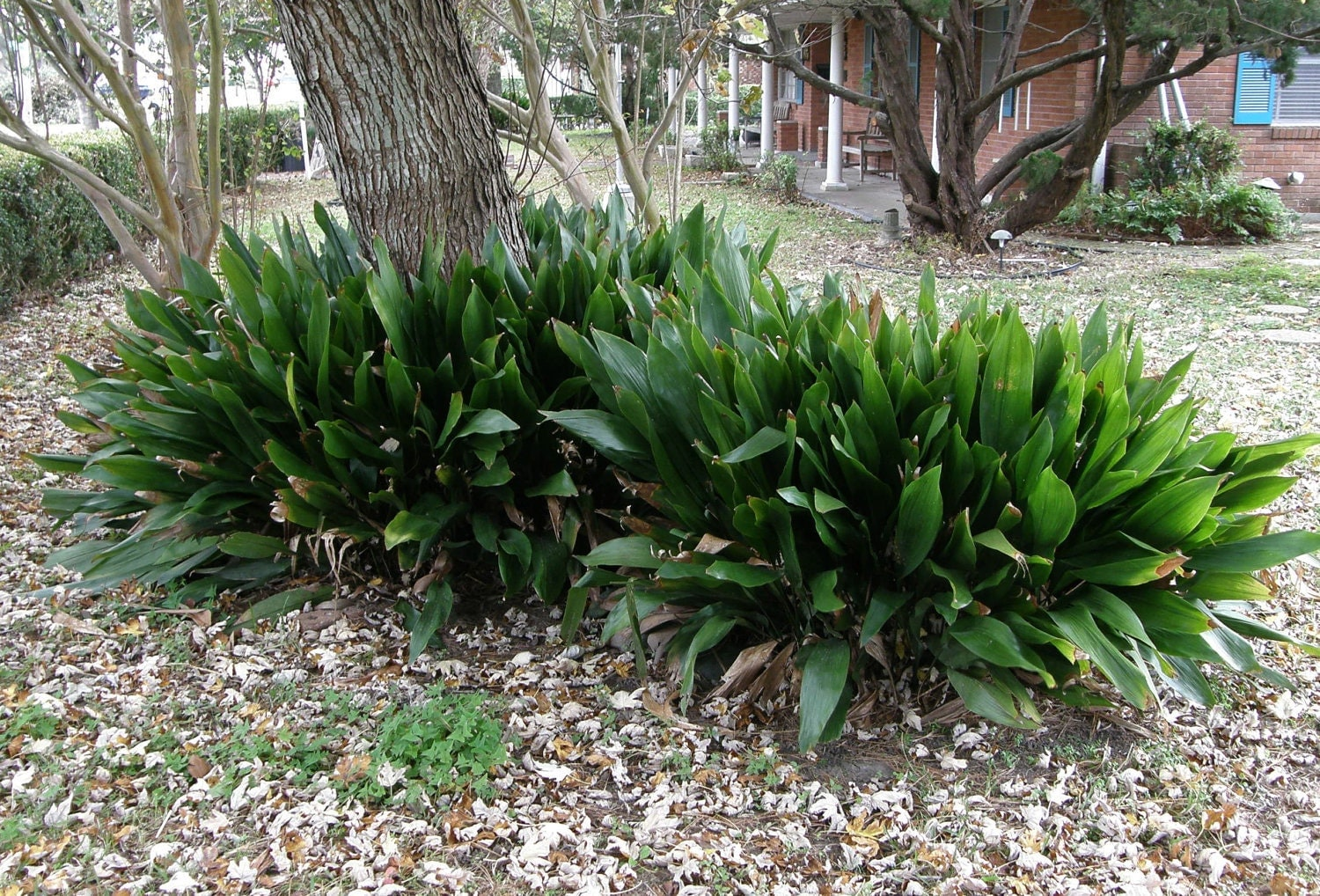 Cast Iron Plants : Cast iron plant aspidistra elatior easy to grow ornamental
