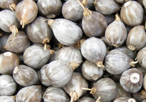 50 Job Tears Seeds - coix seeds - natural beads