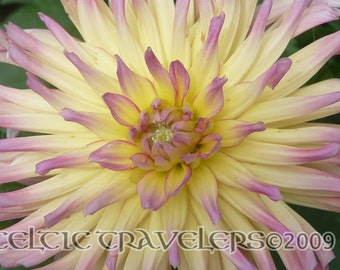 Chrysanthemum in Bloom - 5 x 7 Original Art Photograph Note Card