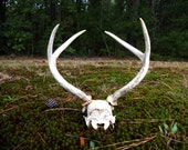 Vintage Whitetail deer antlers with partial skull Woodland