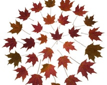 30 FALL MAPLE LEAVES - Real Dried Pressed Maple Leaves - Thanksgiving Decorations, Fall Weddings, Fall Decor, Fall Crafts, Red Leaves