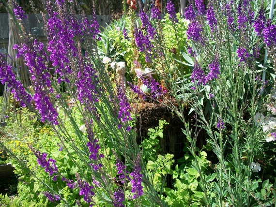 Seeds Organic Linaria  Purple Toad Flax