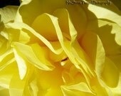 LAST CHANCE SALE- Yellow Rose of Texas- 9x12 Fine Art Photo- 40% off- Free Shipping