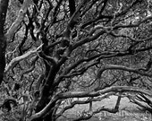 Manzanita- Black and White 11x14 Fine Art Photo- FREE Shipping