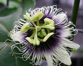 Lilikoi seeds (20) - purple passion fruit seeds, passiflora edulis var. edulis seeds from Hawaii