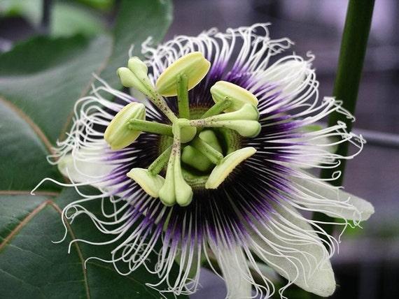 Hawaiian Lilikoi seeds - yellow and purple passion fruit, passiflora edulis/flavicarpa from Hawaii