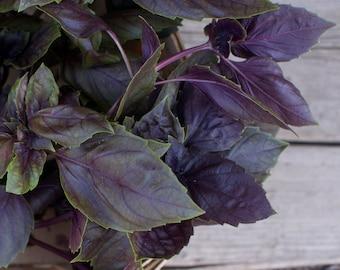 Dark Purple Opal Basil Seeds