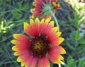 Blanket Flower, Native wildflower, Perennial Flower Seeds