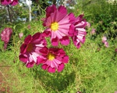 Cosmos Colorful Mix, Organic Flower seeds, Naturally Grown