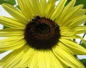 2010 Mega Sunflower Seeds, Native plant, Heirloom, perennial, Organic seeds