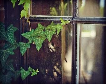 Green Creeper, Ivy, old window, cob webs, peaking inside,Fine Art Photograph, 8x10