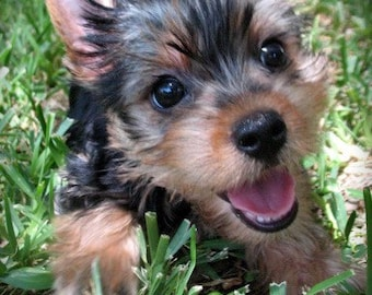 Yorkie and Maltese  Fine Art Photo Cards-Puppy Love Series -  Set of 4