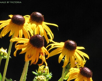 Brown Eyed Susan's Flowers  Fine Art Photograph - Nature's Gift / Home Decor/Macro Floral Black Eyed Susan Flowers