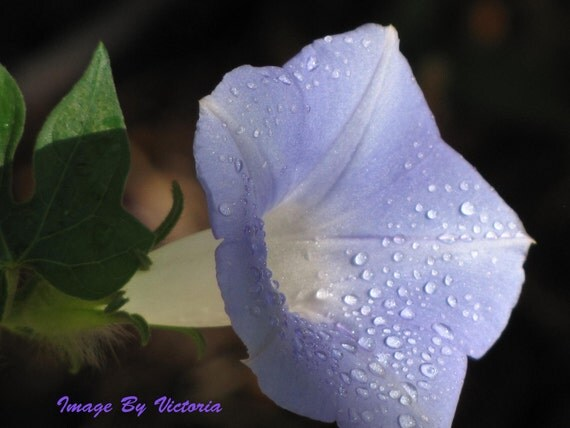 Morning Glory Flower Dewdrops Purple Pleasure Meditation Series - Altar Art 8 x 10  Fine Art Photo