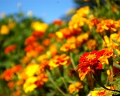 Organic Seeds, Flower Seeds, French Marigold seeds, heirloom seeds, handmade seed packets, organic gardening, natural pest control, flowers