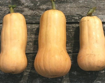 Waltham Butternut Squash // heirloom organic vegetable seeds // from our farm // eco friendly gardening // organic vegetable garden