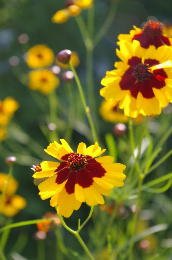 Organic Seeds, Heirloom Seeds, Plains Coreopsis Seeds, from our farm in handmade seed packets