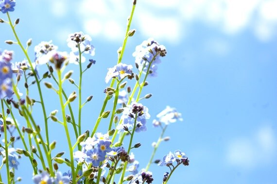 Organic Heirloom Seeds, Field Forget Me Nots, from our farm in handmade seed packets
