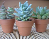 7 Succulents With Mini Terra Cotta Pots, Great Favors, Garden Party, Take Home Gift
