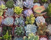 Succulent Plants, 6 Assorted, Great For Terrarium Projects, Special Events, Centerpieces, Container Gardens