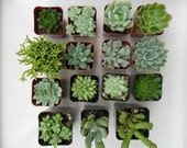 Succulent Plants, A Collection Of 9, As Seen In Better Homes And Gardens, Great For A Terrarium, Centerpiece, Favors, Bouquets And More