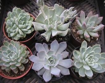 4 Succulents, Large, Great for Weddings, Succulent Favors, Table Decor and Bouquets, Rosette Shape