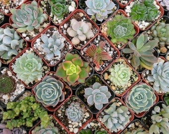 12 Succulents, Succulent, Terrariums, Wedding Favors, Baby Shower, Succulent Favors, Special Event, Succulent Garden