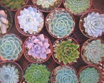 10 Succulents, Large Rosettes, 4 Inch Pots, Perfect For Weddings, Favors, Centerpieces, Bouquets, Dish Gardens, Living Frames