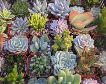 A Collection Of 5 Succulents, Succulent Favors, Great For Terrarium Projects, Centerpieces, Container Gardens