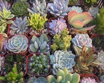 6 Succulent Favors, Succulent Centerpieces, Terrariums, Container Gardens