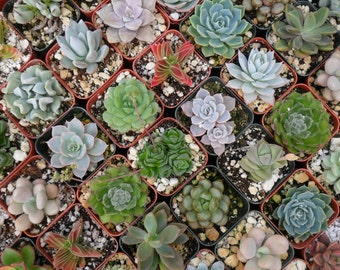 18 Succulents, Wedding Favors, Bridal Showers, Succulent Favors and More