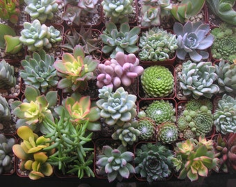 Succulents Galore, 50 QUALITY Succulents For Wedding Favors, Bouquets, Centerpieces, Boutonnieres, Gardens, and More