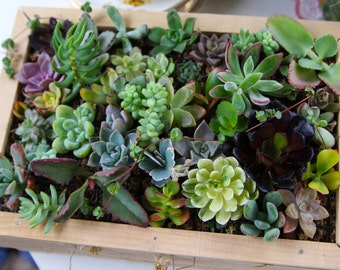 25 QUALITY Succulents Cuttings, Terrarium, Vertical Living Wall, Centerpieces and Favors