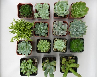 9 Succulents, Seen In Better Homes And Gardens,, Succulent Favor, Terrarium, Centerpiece, Favors, Bouquets And More