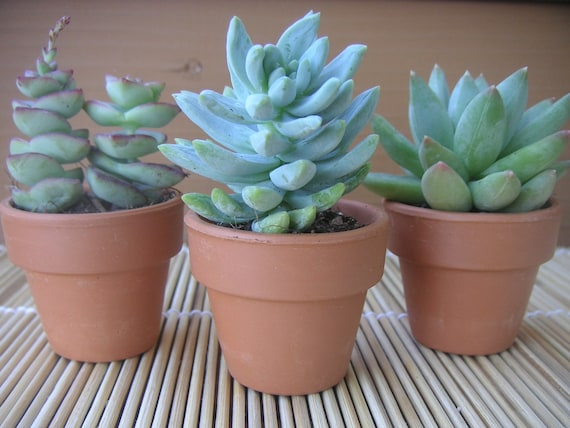 RESERVED FOR ABBEY, 100 Succulent Collection, Terra Cotta Pots, Great Wedding Favors, Pick Up May 20th