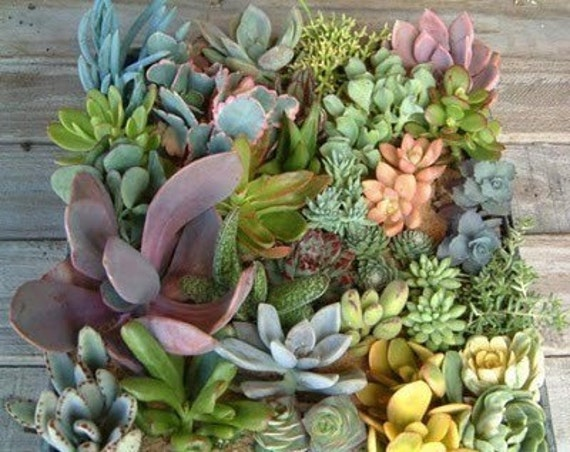 DIY, A Collection Of 6 Succulent Plants And 2 Hanging Glass Globes , Make Your Own Terrarium