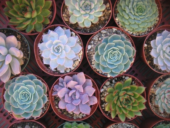 TOP QUALITY, A Collection Of 6 LARGE Succulent Plants, Great For Weddings,  Bouquets, Favors and Centerpieces, 4 Inch Pots