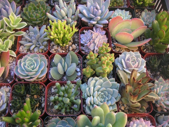 A Collection Of 12 Succulent Plants, Great For Terrarium Projects, Gardens, Centerpieces, Dish Gardens And More
