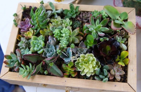 Succulents Galore, A Collection of 16 Succulent Cuttings, Great For Vertical Walls, Living Art, Centerpieces and Living Walls