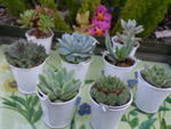 RESERVED FOR Divine David, 70 Succulents, White Pails For Wedding Favors, Table Decor, Ship Date September 10